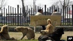 Stray dogs rest at a park in Srinagar, March 2, 2012. Srinagar, India