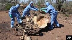 Petugas memeriksa tulang belulang sisa bangkai badak yang dibunuh untuk mencari bukti forensik, di perbatasan Afrika Selatan dan Mozambik. (Foto: File)