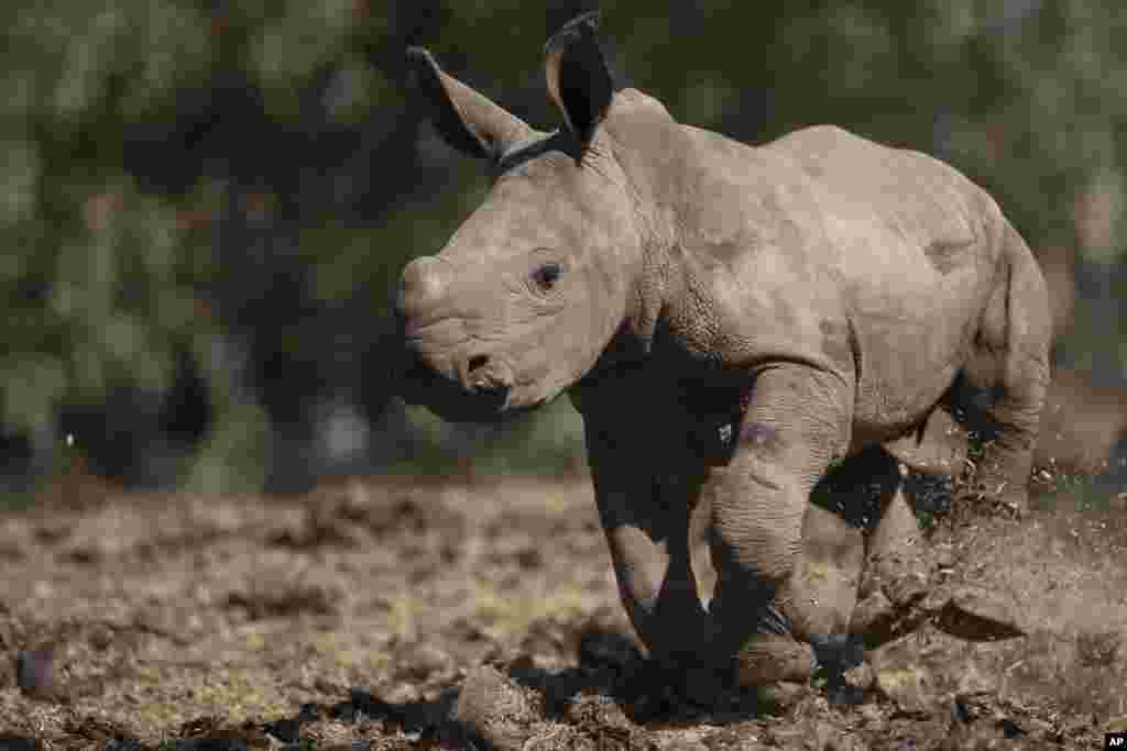 A newly born female white rhino runs in Ramat Gan Safari Park near Tel Aviv, Israel. She was born three weeks ago, after more than twenty years without a female white rhino birth in the Safari, Sagit Horowitz, the safari spokeswoman said.