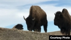 "Photo shows two of a herd of about 50 buffalo from the private herd managed by Pine Ridge Reservation resident Charles ""Bamm"" Brewer."