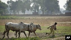 An Indian farmer pulls his oxen after plowing a rice paddy in Allahabad, India, FILE June 17, 2010.