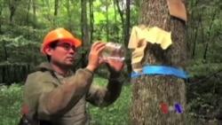 美国专讯:1)召集黄蜂对抗入侵的甲虫 2)巴尔的摩用水车清除河道垃圾