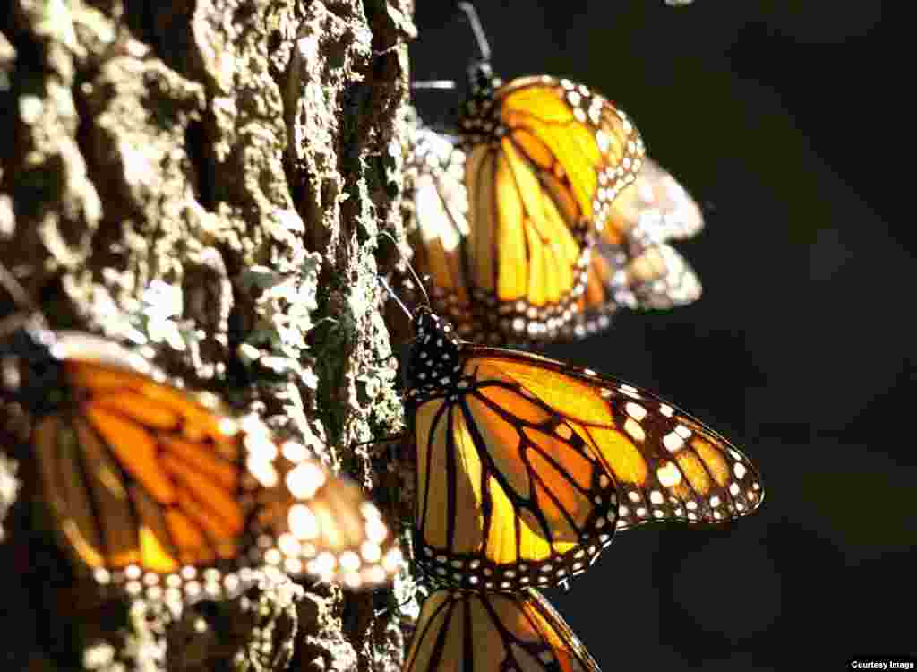 Monarch butterflies catching the sun on an oyamel tree in a Mexican overwintering site. (Credit: Jaap de Roode)