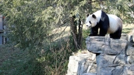 Mei Xiang at Washington's National Zoo, Jan 201, 2011