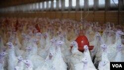 Sebuah peternakan kalkun di Neerstedt, Jerman utara ditutup karena diduga menggunakan bahan kimia yang mengandung dioxin sebagai makanan ternak.