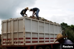 Farmers know as Jimador load up a truck of hearts of blue agave in a plantation in Tepatitlan, Jalisco, Mexico, Sept. 6, 2017.