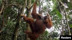 Orangutan jantan bergantung di sebuah pohon di Taman Nasional Gunung Leuser di Langkat, Sumatera Utara. (Foto: Dok)