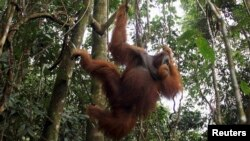 FILE - A male orangutan hangs from a tree in Gunung Leuser National Park in Langkat district of the Indonesia's North Sumatra Province.
