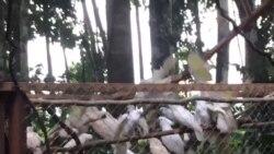 Pelepasliaran Satwa burung Kakatua Putih dan Nuri Kasturi Ternate oleh BKSDA Maluku