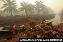 Seorang pekerja menurunkan buah kelapa sawit di perkebunan kelapa sawit di Gambut Jaya, Provinsi Jambi. (Foto: Antara/Wahyu Putro A via REUTERS)