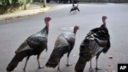 FILE - Wild turkeys walk along a street in a residential neighborhood in Brookline, Mass., Sept. 27, 2017.