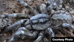 The newly discovered tarantula Poecilotheria rajaei is seen in a forest in Sri Lanka (Courtesy: Ranil P. Nanayakkara)