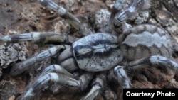 Tarantula Poecilotheria rajaei baru ditemukan di sebuah hutan di Sri Lanka (Courtesy: Ranil P. Nanayakkara)