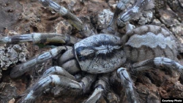 The newly discovered tarantula Poecilotheria rajaei is seen in a forest in Sri Lanka (Courtesy: Ranil P. Nanayakkara)
