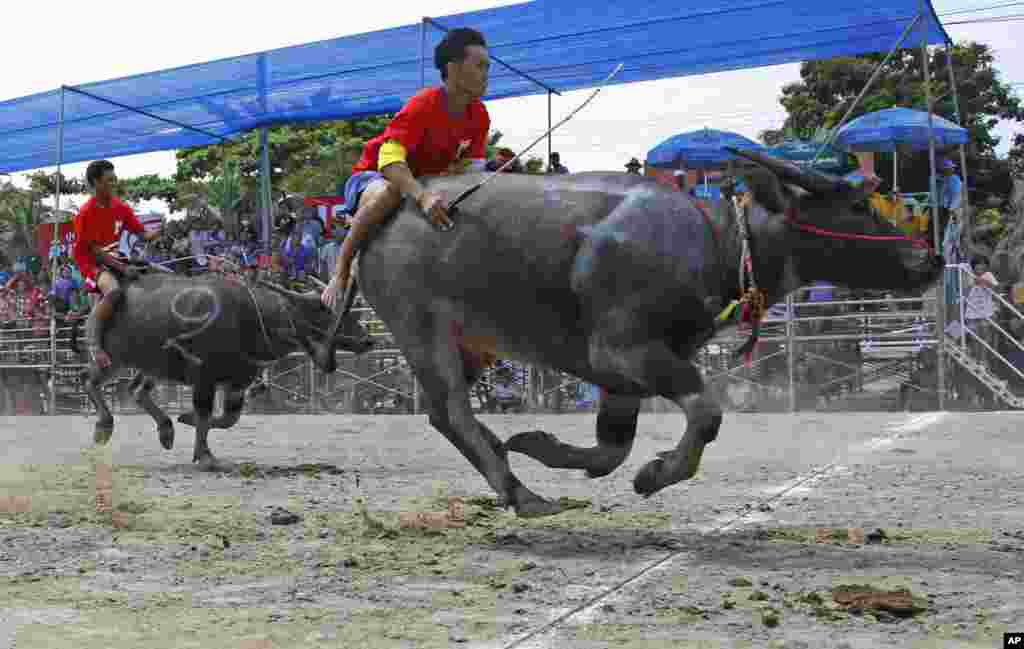 Thai jockeys competing in the annual water buffalo race cross the finish line in Chonburi Province south of Bangkok. The annual race is a celebration of rice farmers before harvest.
