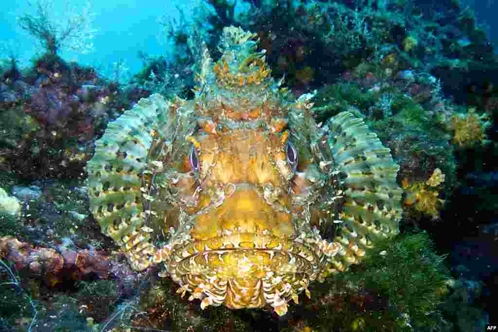 A scorpion fish is pictured on the seabed of the Plane island near Marseille, southern France.