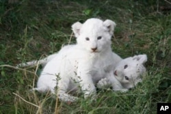 White lion cubs born recently on Pumba Game Reserve
