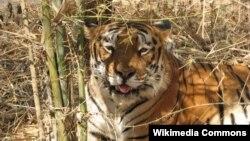 인도 호랑이 (자료사진)