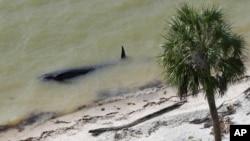 Everglades Parkı sahilindeki ölü balinalardan biri.