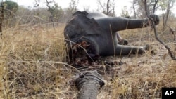 喀麦隆一个国家公园中被偷猎的大象的遗体