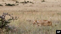 FILE - In this photo taken July 30, 2015, a lioness walks in the long grass in the Nairobi National Park in Nairobi, Kenya.