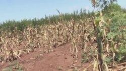 Drought Hits Southern Malawi Hard