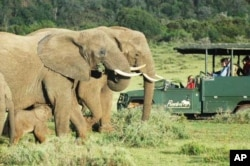 At great cost, some parks in the 'Albany Hotspot' have restocked the land with the so-called 'Big Five' animals, like these elephants