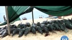 Golfinhos aparecem mortos em Inhambane