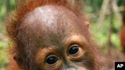 انڈونیشیا: اورنگ اوتان بندروں کی نسل کو خطرہ