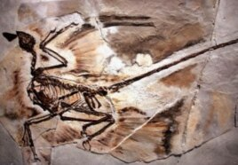 "A fossil of a Microraptor from a 130-million year old forest that existed in what is now Liaoning Province, China is displayed at the new exhibit ""Dinosaurs: Ancient Fossils, New Discoveries"" at the American Museum of Natural History in New York City. (F"