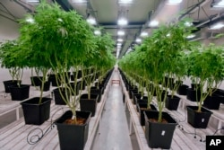 Marijuana plants are grow in a clean room at the Fotmer SA facilities, an enterprise that produces cannabis for medical use, in Montevideo, Uruguay, Jan. 29, 2019.
