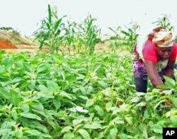 Camponesa colhendo gimbôa no Nova Vida. Populares também suspeitam dos fertilizantes como origem dos desmaios, o que os camponeses negam.