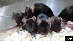 This September 11, 2020, image provided by Teruhiko Wakayama, of the University of Yamanashi, shows healthy offspring and the next generation of mice produced from space-stored sperm.(Teruhiko Wakayama via AFP)