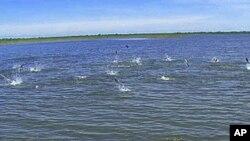 ปลาคาร์พเอเชียหลายพันธุ์ กำลังคุกคามระบบนิเวศน์ตามทางน้ำสายต่างๆ ทั่วภาคกึ่งตะวันตกของสหรัฐ