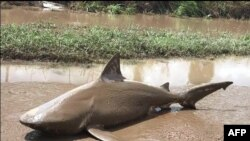 This handout photo from the Queensland Police Service taken on March 30, 2017, shows a bull shark washed up on a road near the town of Ayr.