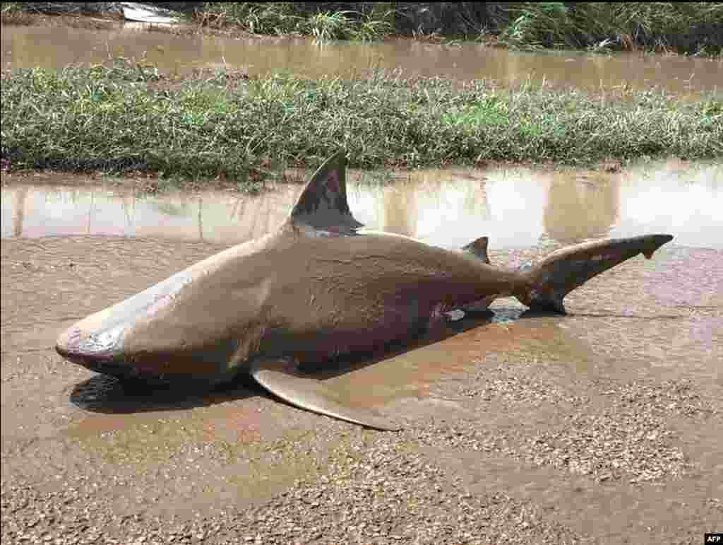 This handout photo from the Queensland Police Service shows a bull shark washed up on a road near the town of Ayr after a powerful cyclone wreaked havoc in northeast Australia.