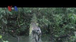 Marcy Summer dan Konservasi Alam di Sulawesi - Liputan Feature VOA April 2012