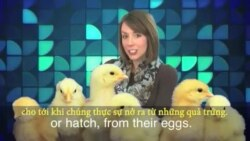 Thành ngữ tiếng Anh thông dụng: Dont count your chickens before they hatch (VOA)