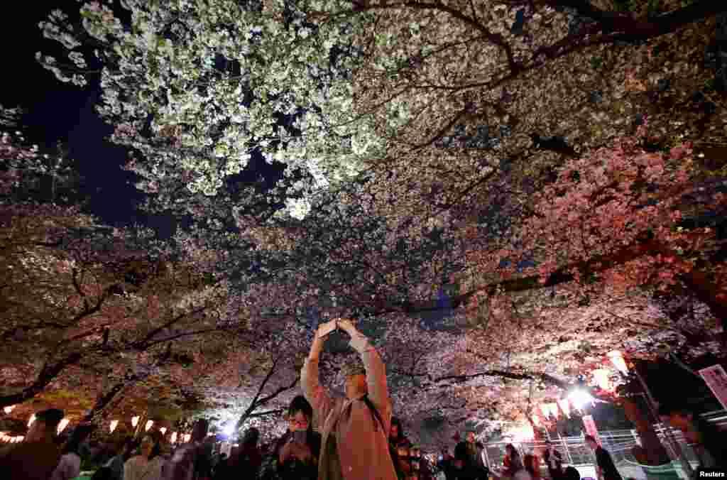 بازدیدکنندگان شکوفه های گیلاس در پارک اوئنو توکیو ژاپن