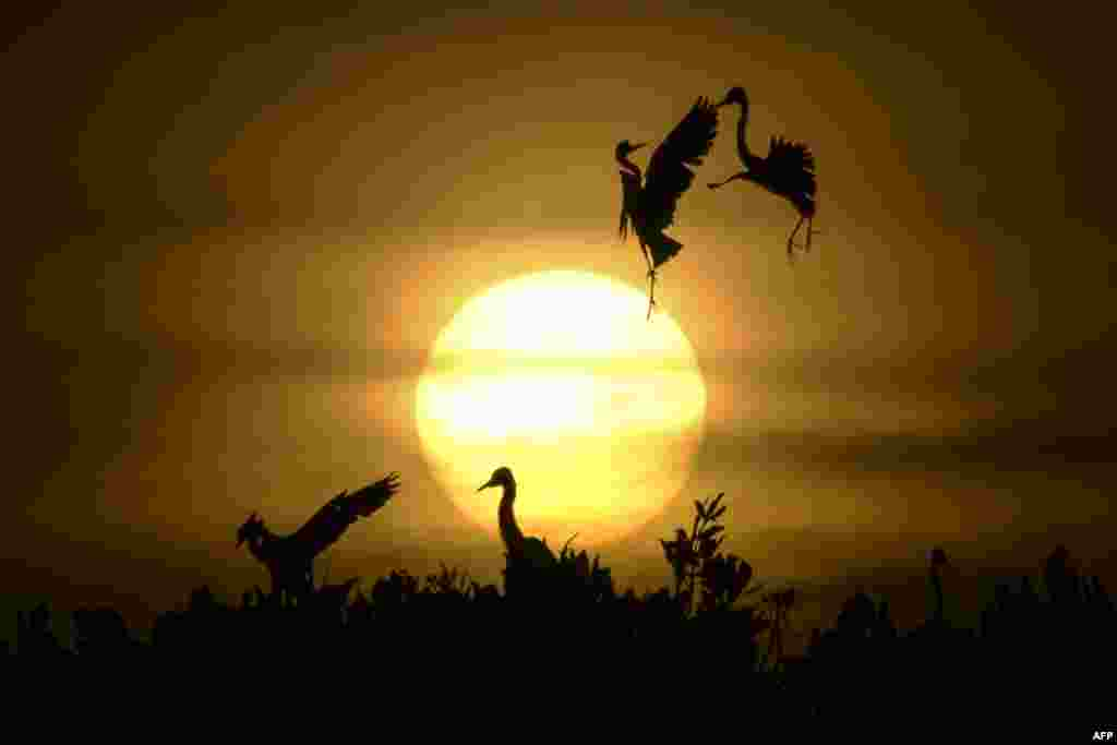 Egrets take flight as others rest on the top of mangrove trees during sunset at Kajhu beach, in Aceh province, Indonesia.