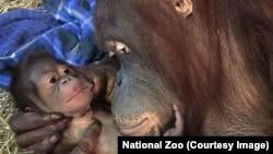Batang the orangutan and her newborn baby boy, at the Smithsonian National Zoo in Washington, D.C.