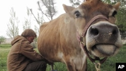 Bonnie the cow is milked by Erik Ramfjord, at the Douglas Ranch in Paicines, California