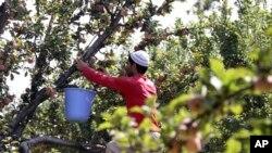 کشمیری نوجوان درخت سے پھل توڑنے میں مصروف ہے۔ (فائل فوٹو)