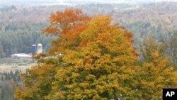 Red maple yang warna-warnanya senantiasa terlihat cantik pada setiap pergantian musimadalah salah satu jenis pohon yang ditanam oleh Living Legacy Project untuk menghormati tentara Amerika yang tewas dalam Perang Saudara (foto: Dok).