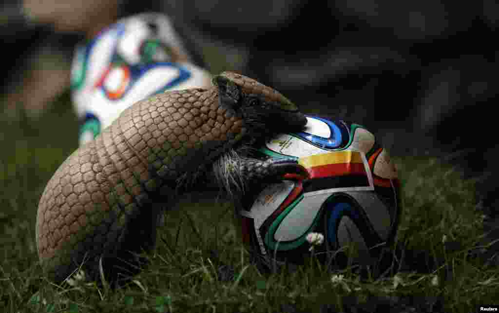 An armadillo called Norman, Germany's World Cup oracle, approaches the soccer ball representing Germany as he makes his prediction for the team's opening World Cup match against Portugal on June 16, at the zoo in the western city of Muenster.