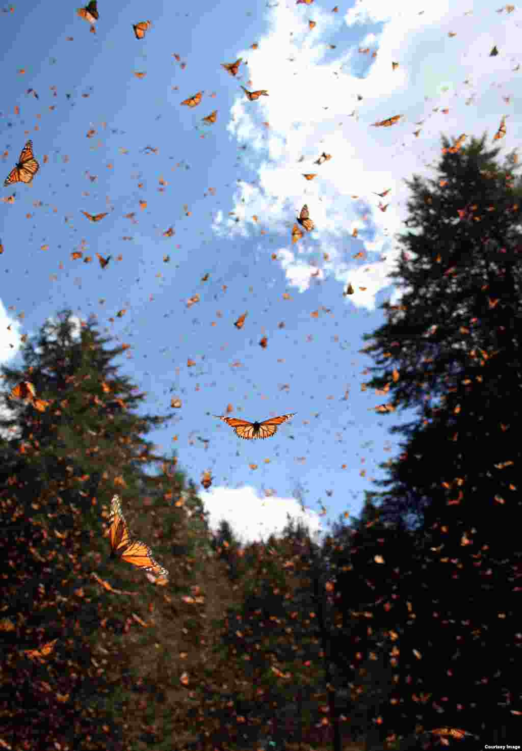 Monarchs take to the sky in Mexico. (Credit: Sonia Altizer)