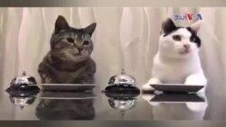 کھنٹی بجا کر کھانا مانگنے والی بلیاں