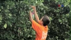 Vi khuẩn từ châu Á đang đe dọa cây cam ở Florida