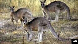 Kangguru abu-abu di dekat Canberra, Australia.