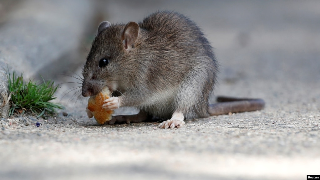 FILE - A rat eats pieces of bread thrown by tourists near the Pont-Neuf bridge over the river Seine in Paris, France, 2017.